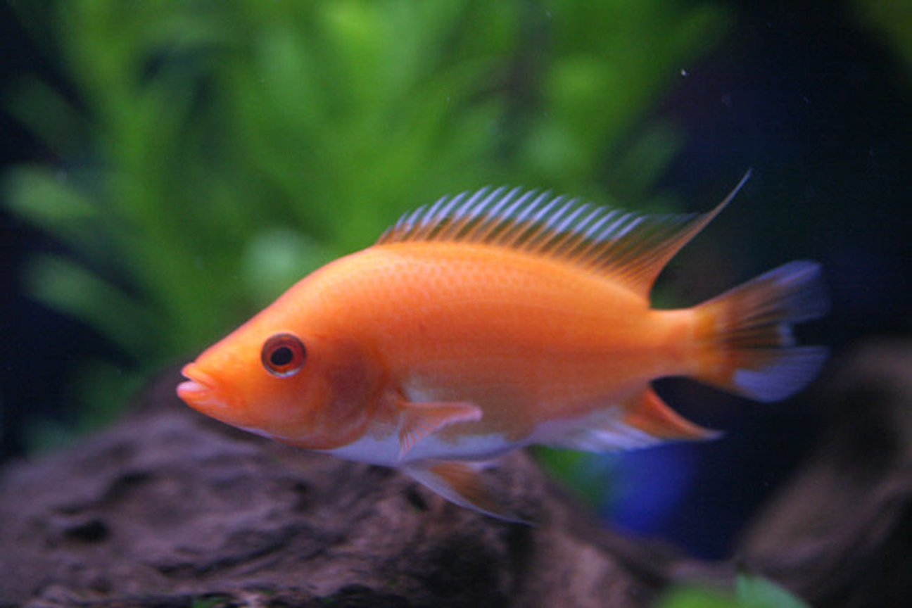 freshwater fish - amphilophus labiatus - red devil stocking in 46 gallons tank - 3 inch Midus