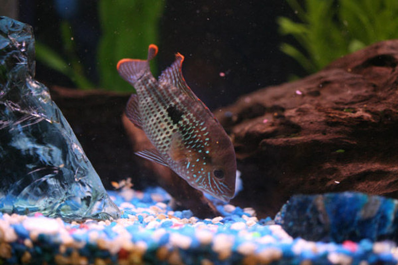 freshwater fish - aequidens rivulatus - green terror stocking in 46 gallons tank - Green Terror Eating