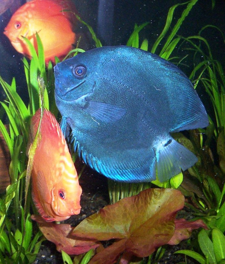 freshwater fish - symphysodon sp. - blue diamond discus stocking in 125 gallons tank - blue diamond, marlboro red discus