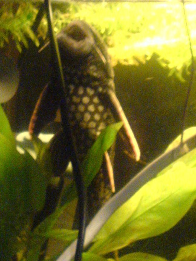 freshwater fish - hypostomus plecostomus - common pleco stocking in 200 gallons tank - my common pleco