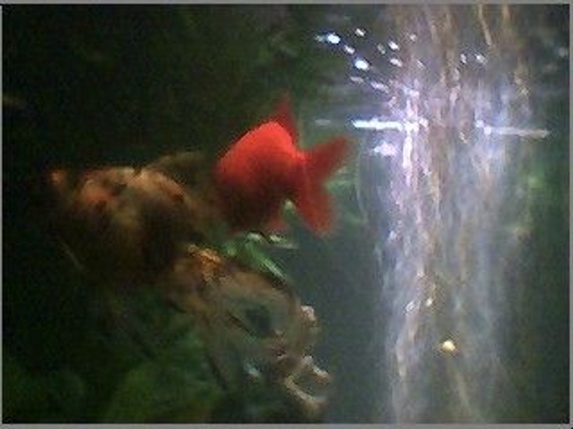 freshwater fish - carassius auratus - fantail goldfish stocking in 45 gallons tank - my two gold fish