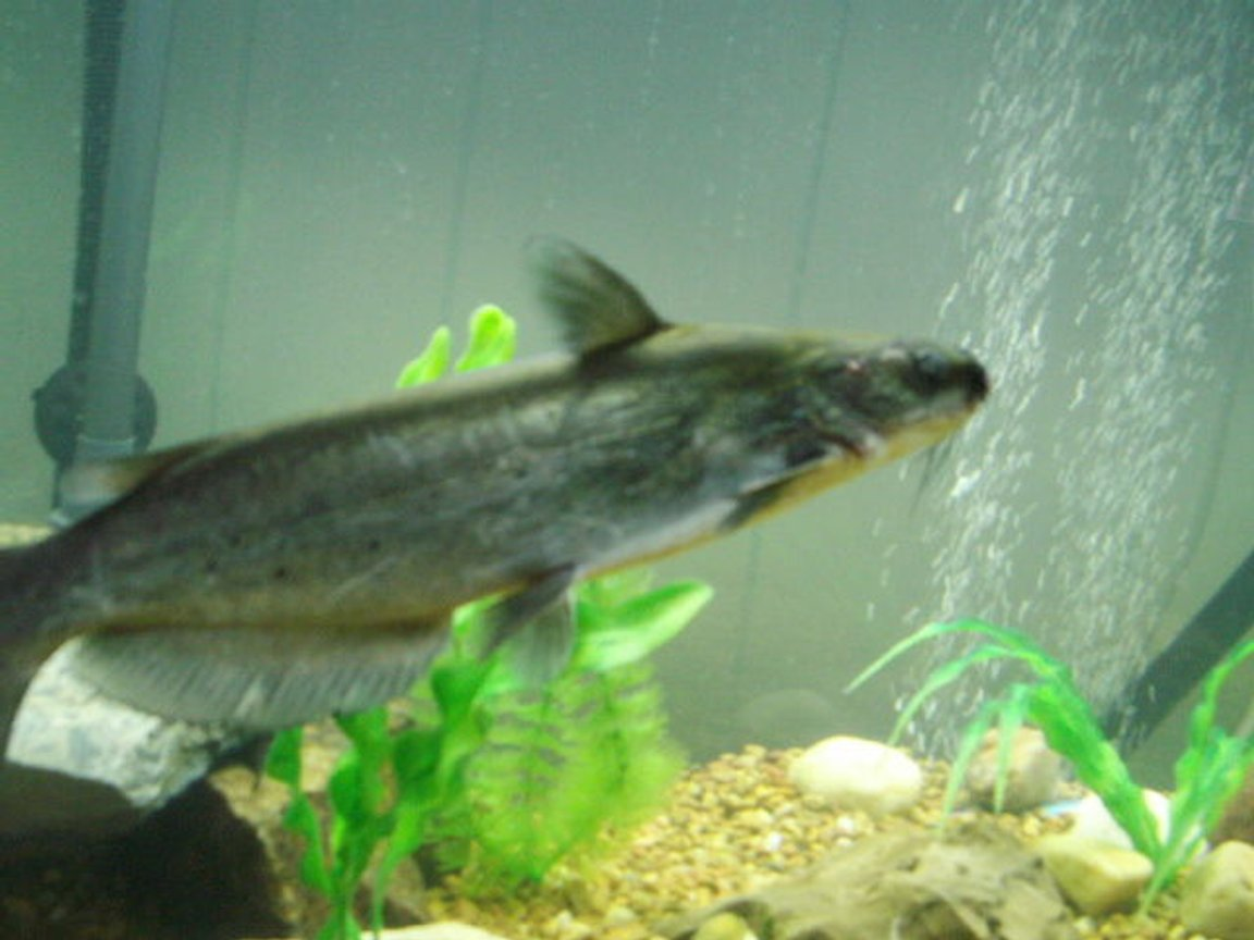 freshwater fish stocking in 75 gallons tank - 10 inch catfish