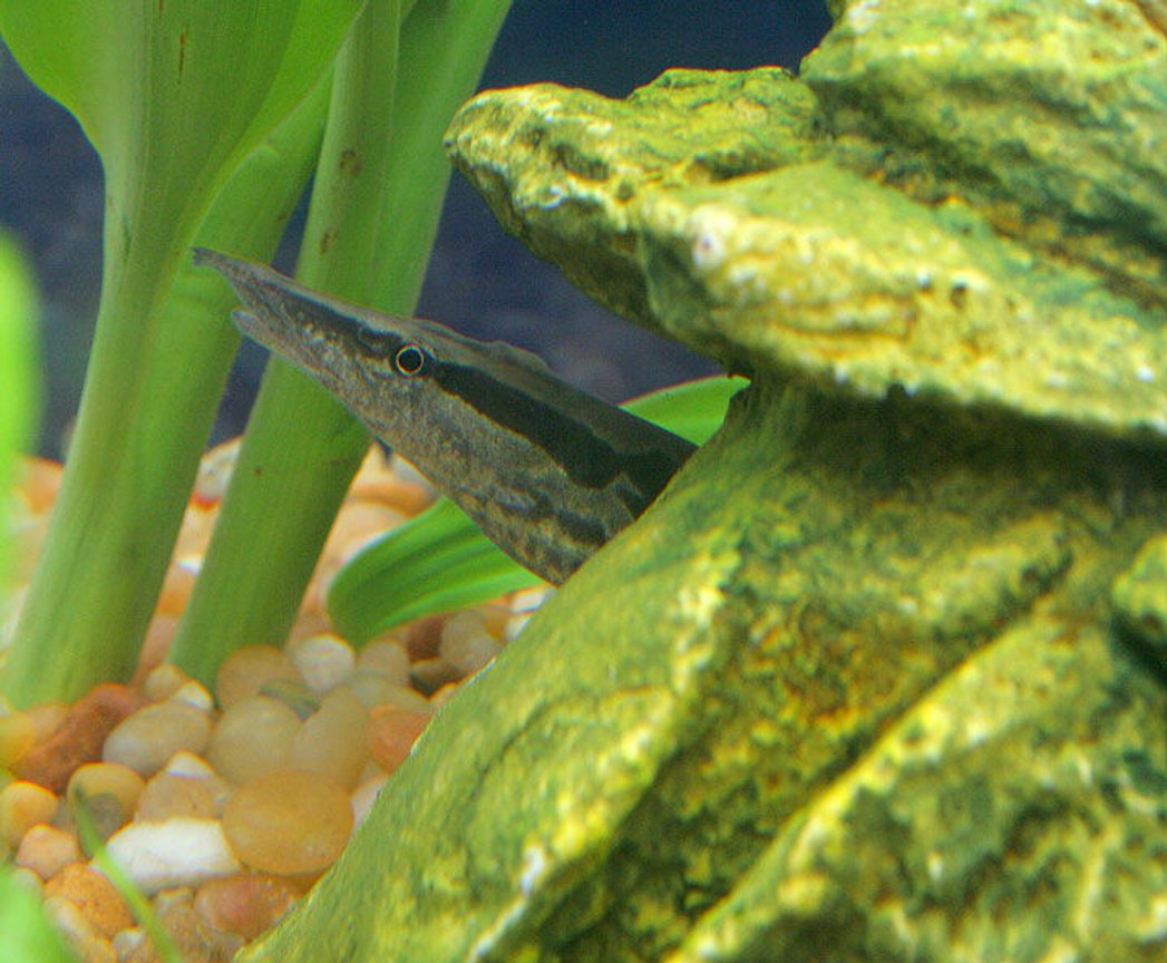 freshwater fish - mastacembelus armatus - tire track eel stocking in 45 gallons tank - Tiretrack Eel in his new hiding place...