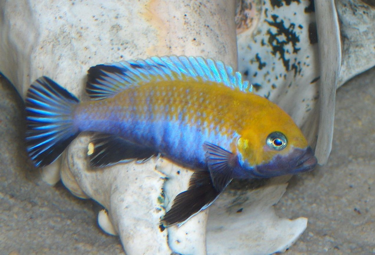freshwater fish - cynotilapia afra - afra cichlid stocking in 125 gallons tank - afra cobue