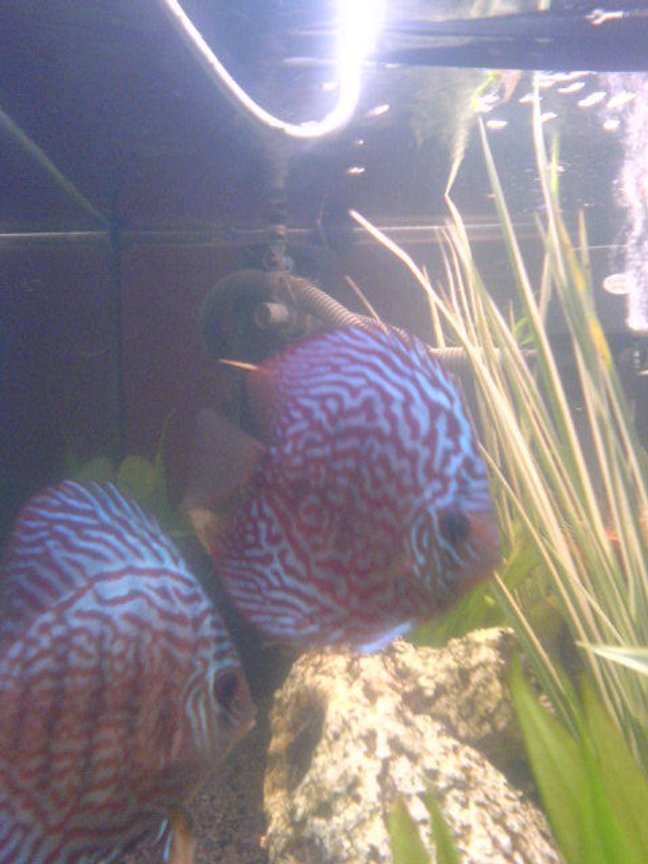 freshwater fish - symphysodon spp. - snakeskin discus stocking in 200 gallons tank - discus