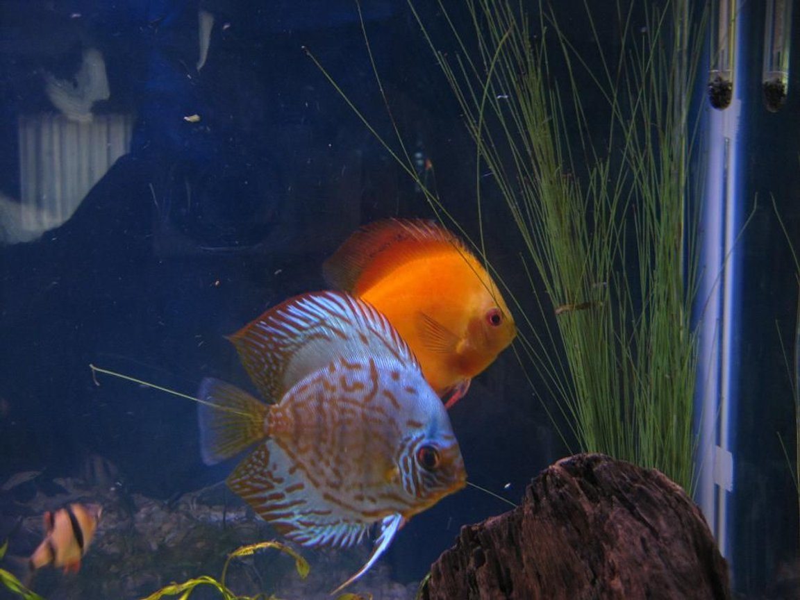 freshwater fish - symphysodon sp. - yellow marlboro discus stocking in 38 gallons tank - Discus My 38 Gallon Aquarium, 3 Discus, 6 Tiger Barbs, 3 Chinese Algae Eaters, one Gold Nugget Pleco, and a Gold Chinese Algae Eater. I'm using a Marineland C-Series Multi Stage Canister Filter C-220, the best fiter out there. I personaly think this filter is better then the Eheim, because it allows no bypass, it forces the water through the filter media trays and not around them, all the other canisters allow 40% to 60%.