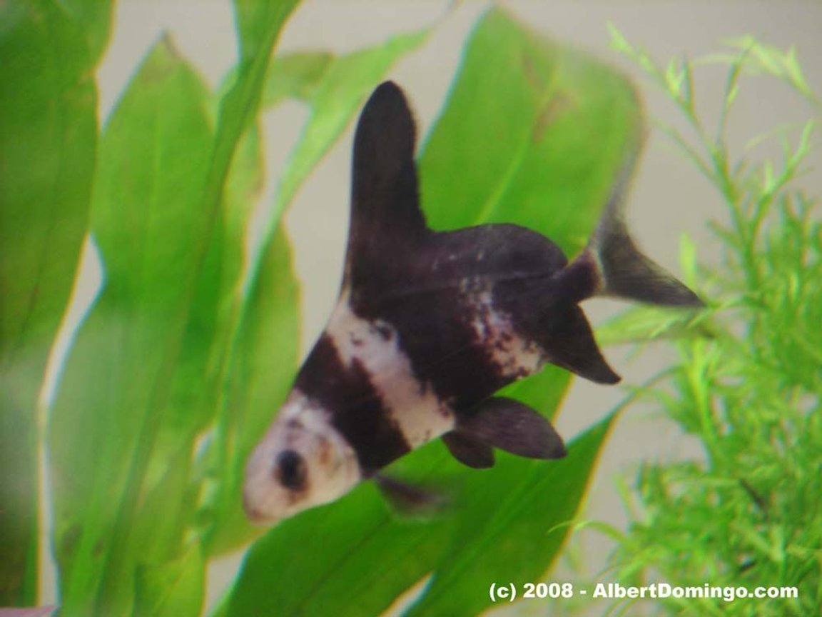 freshwater fish - myxocyprinus asiaticus - chinese hi fin banded shark stocking in 100 gallons tank - Chinese banded shark