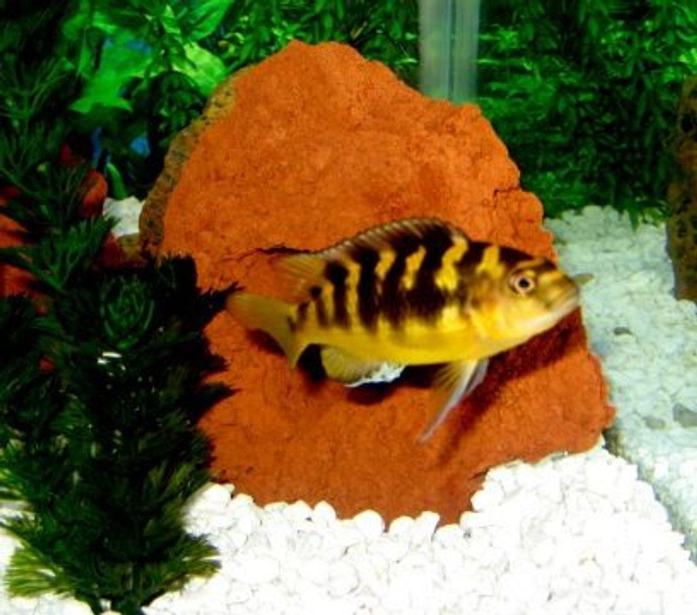 freshwater fish - pseudotropheus crabro - bumblebee cichlid stocking in 150 gallons tank - Bumblebee Cichlid