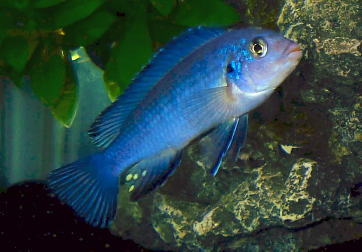 freshwater fish - pseudotropheus socolofi - powder blue cichlid stocking in 55 gallons tank - Male Pseudotropheus socolofi