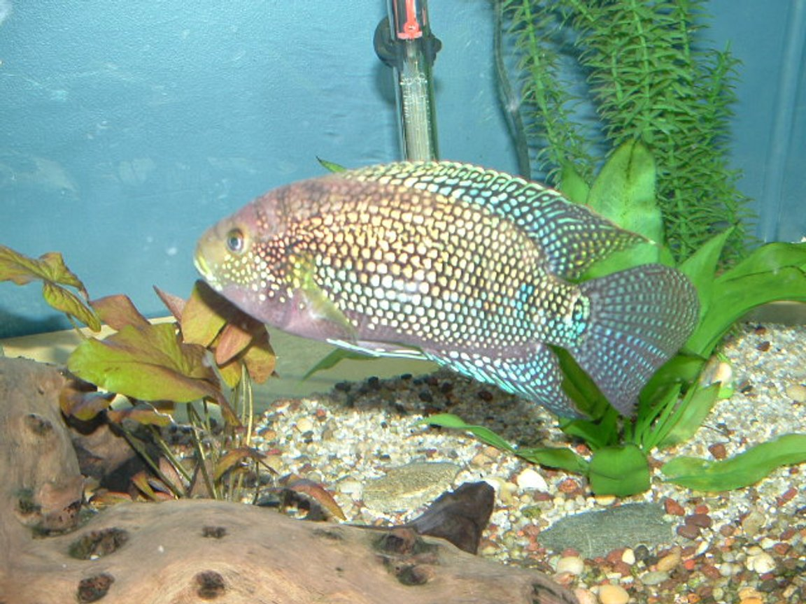 freshwater fish - nandopsis octofasciatum - jack dempsy stocking in 125 gallons tank - My Jack Dempsy