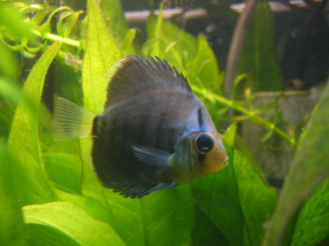 freshwater fish - symphysodon sp. - ocean green discus stocking in 55 gallons tank - my baby infant