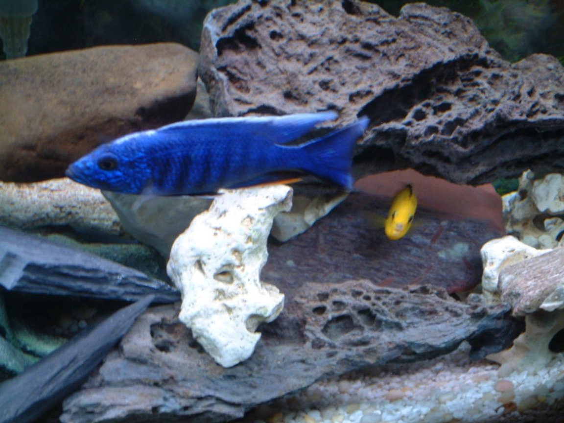 freshwater fish - sciaenochromis ahli - electric blue cichlid stocking in 55 gallons tank - Looking down at tank - African Cichlids