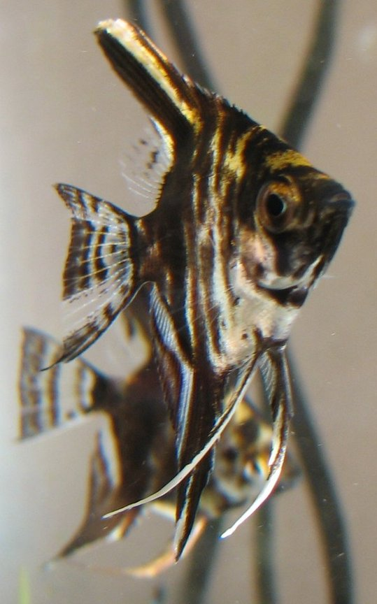 freshwater fish - pterophyllum sp. - angel stocking in 18 gallons tank - Baby Angel