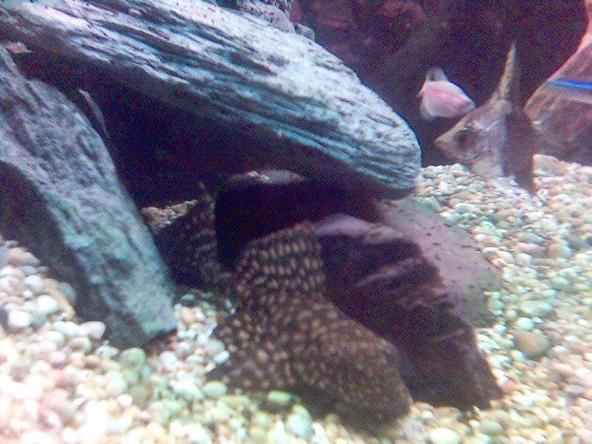 freshwater fish - leporacanthicus galazias - tooth-nose pleco (l-07a) stocking in 60 gallons tank - my fish