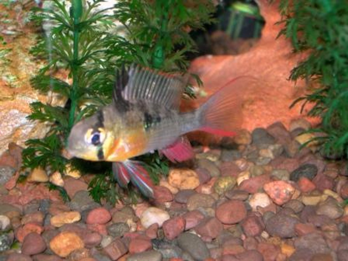 freshwater fish - microgeophagus altispinosa - bolivian ram stocking in 30 gallons tank - One of my Bolivian Rams