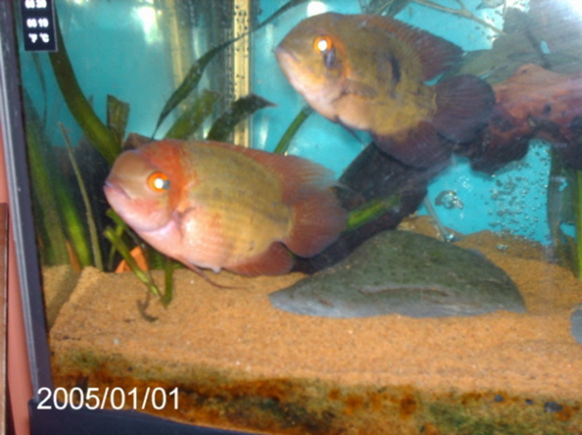 freshwater fish - hypselecara temporalis - chocolate cichlid stocking in 200 gallons tank - male and female chocolate cichlids