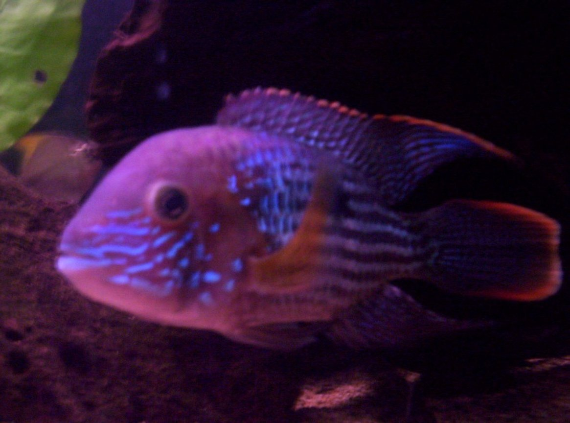 freshwater fish - aequidens rivulatus - green terror stocking in 100 gallons tank - this is my green terror named Flash