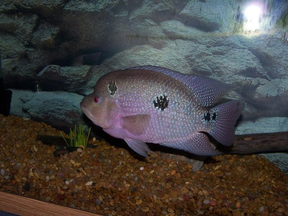 freshwater fish - cichlasoma sp. - flower horn cichlid stocking in 300 gallons tank - Flowerhorn Cichlid