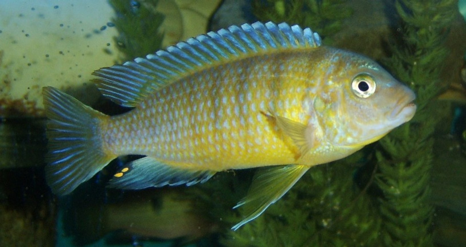 freshwater fish - labidochromis caeruleus - electric yellow cichlid stocking in 120 gallons tank - unknown
