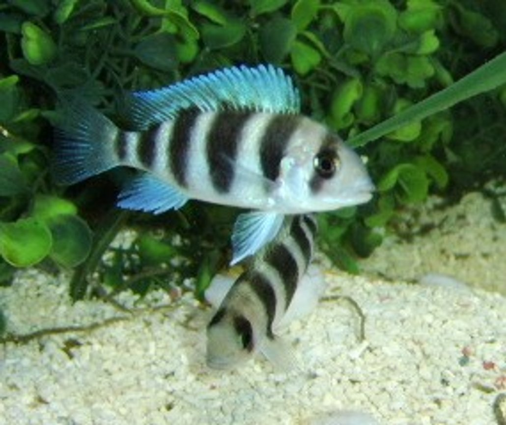 freshwater fish - cyphotilapia frontosa - frontosa cichlid stocking in 120 gallons tank - Young Frontosa