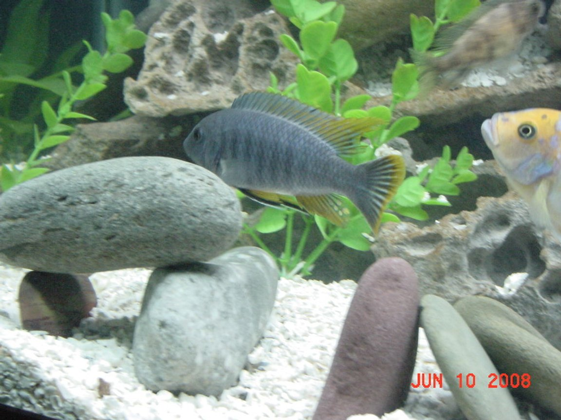freshwater fish - tropheus duboisi - tropheus cichlid stocking in 75 gallons tank - Tropheus - Hardest Fish to Photograph in The World!!