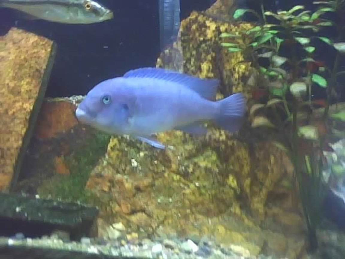freshwater fish - cyrtocara moorii - blue dolphin cichlid stocking in 60 gallons tank - chillin