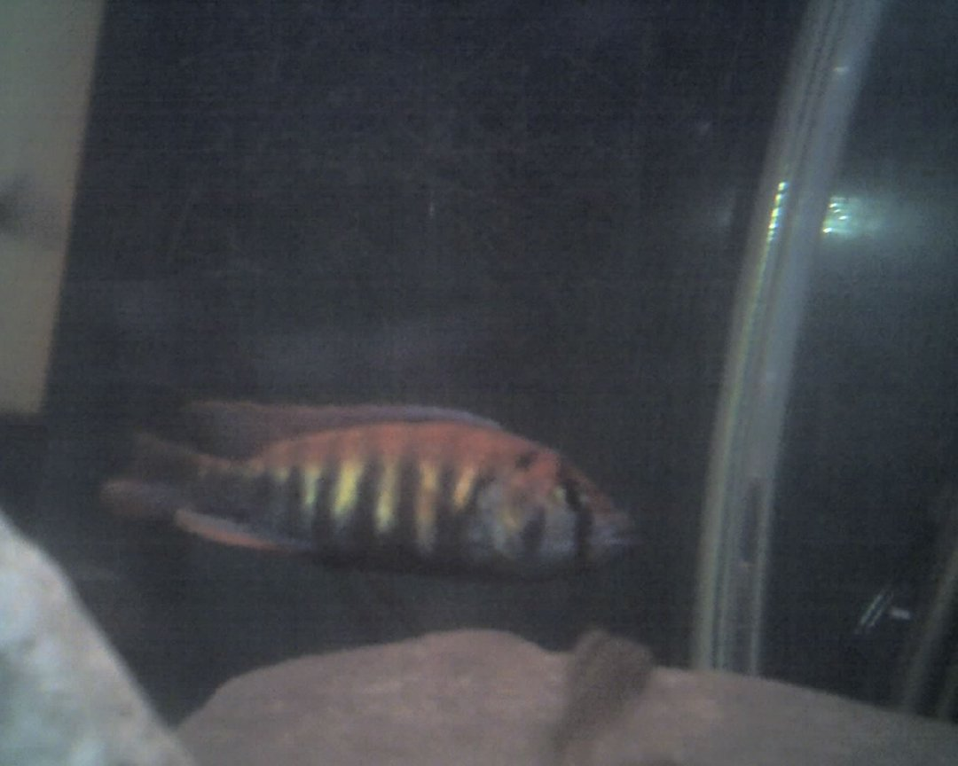 freshwater fish - pundamilia nyererei - nyererei hap stocking in 60 gallons tank - this is another picture of the nyererei