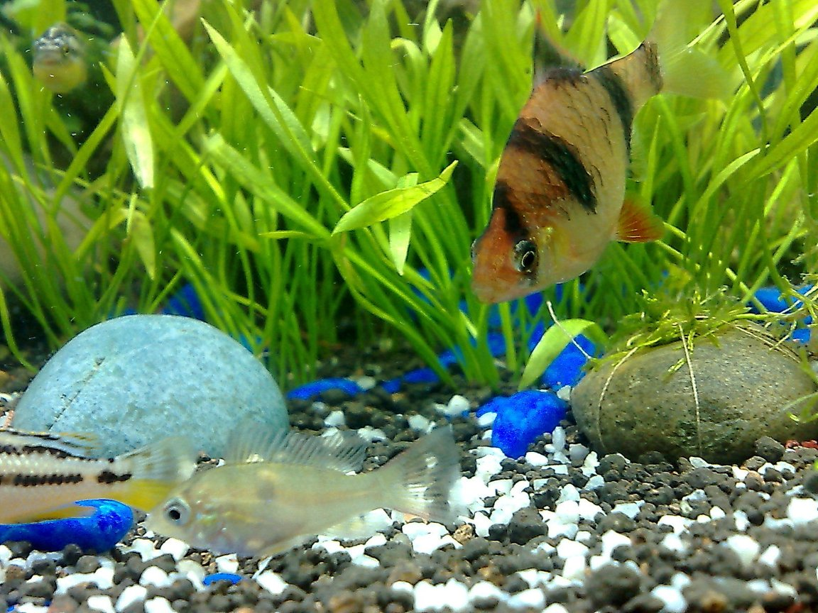 freshwater fish - puntius tetrazona - tiger barb stocking in 20 gallons tank - tiger barb and the smallest cichlid of the tank