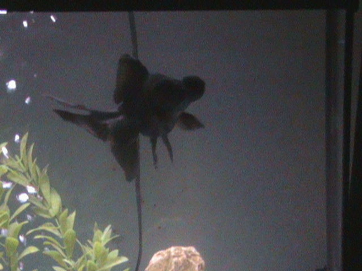 freshwater fish - carassius auratus - black moor goldfish stocking in 27 gallons tank - Rijel