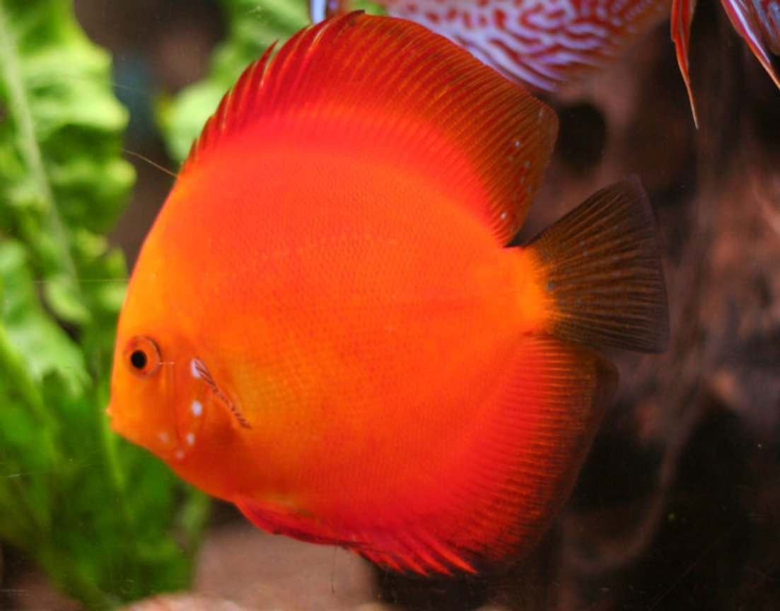 freshwater fish - golden melon discus stocking in 127 gallons tank - Discus, Golden Melon