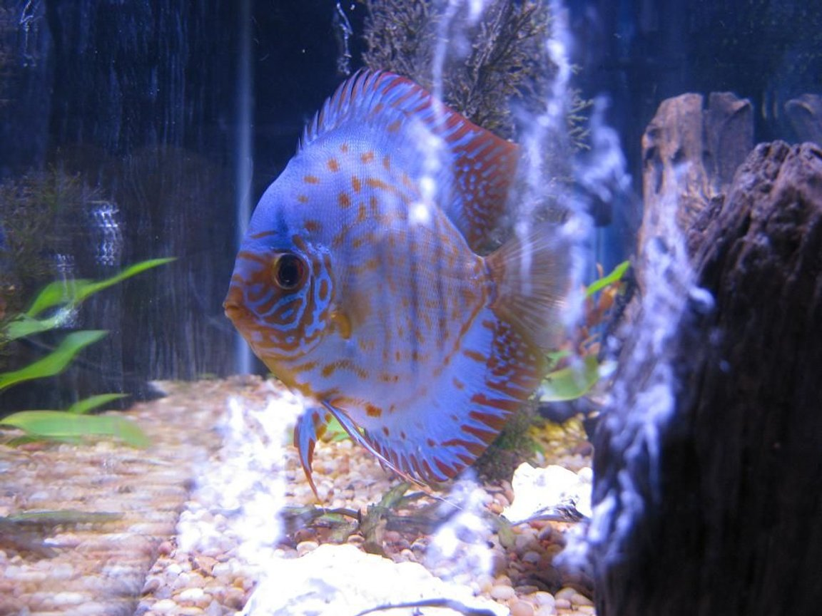freshwater fish - baby blue panda discus stocking in 38 gallons tank - Discus My 38 Gallon Aquarium, 3 Discus, 6 Tiger Barbs, 3 Chinese Algae Eaters, one Gold Nugget Pleco, and a Gold Chinese Algae Eater. I'm using a Marineland C-Series Multi Stage Canister Filter C-220, the best fiter out there. I personaly think this filter is better then the Eheim, because it allows no bypass, it forces the water through the filter media trays and not around them, all the other canisters allow 40% to 60%.