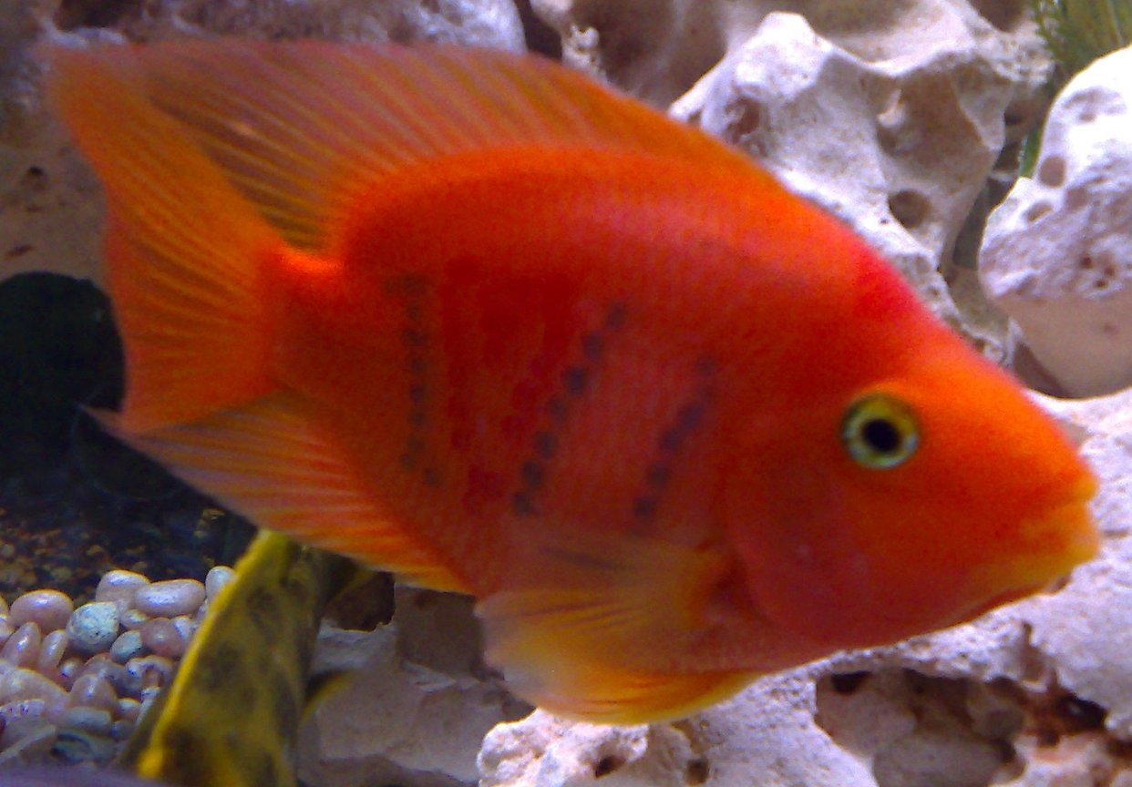 freshwater fish - heros severus x amphilophus citrinellum - blood parrot stocking in 46 gallons tank - My I love U parrotfish