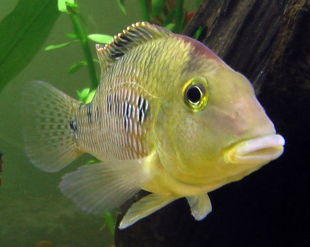 "freshwater fish - geophagus steindachneri - redhump eartheater stocking in 26 gallons tank - ""Geo"" the Redhump Eartheater mugging for the camera. He greets people with great enthusiasm and spends the day moving pebbles around with his mouth."