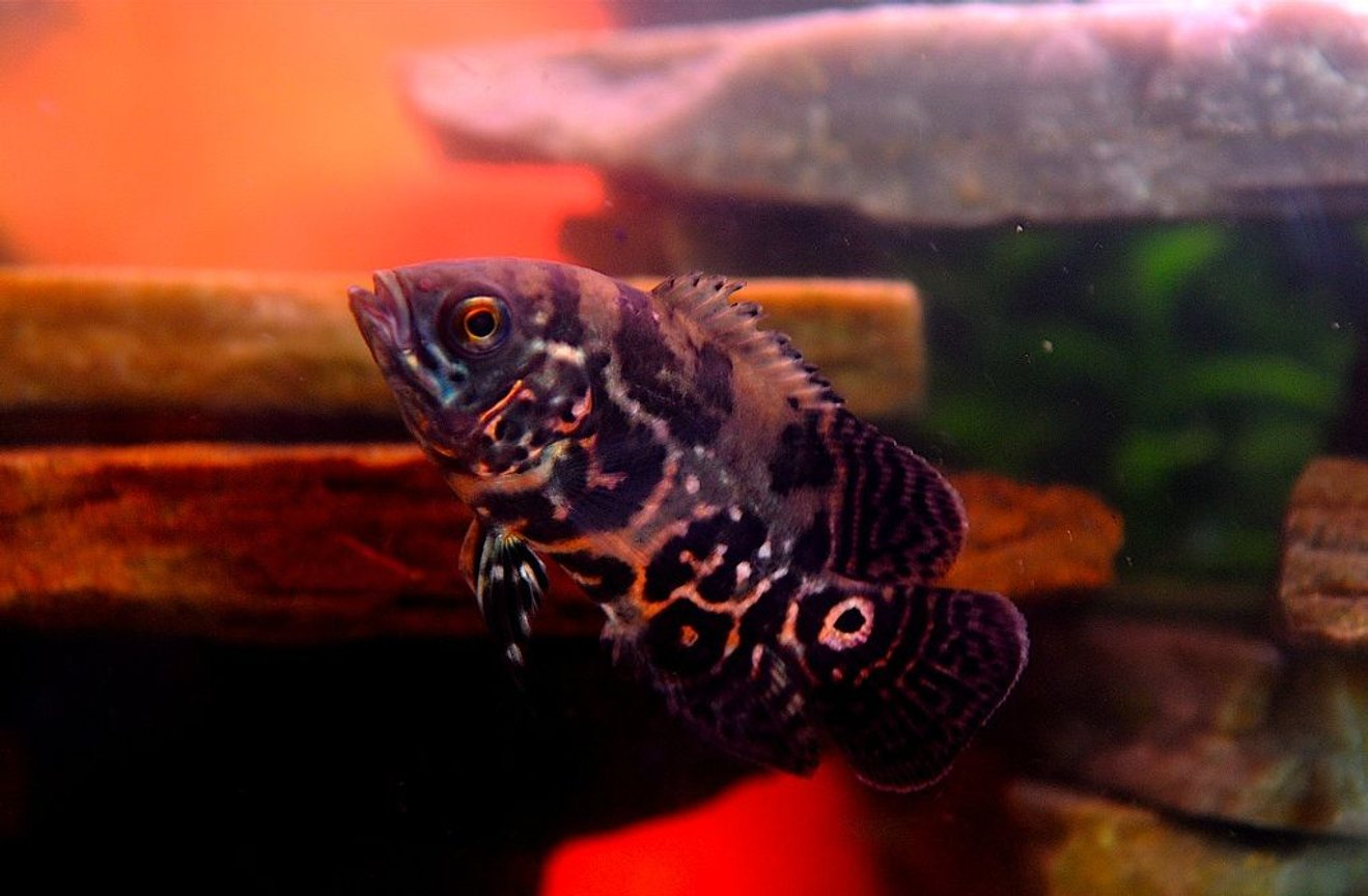 "freshwater fish - astronotus ocellatus - tiger oscar stocking in 50 gallons tank - William Murderface the 3.5"" Tiger Oscar"