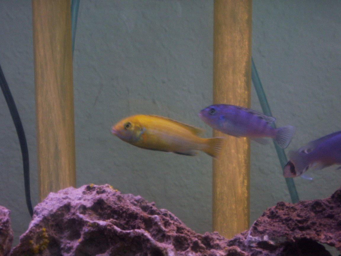 freshwater fish - metriaclima lombardoi - kenyi cichlid stocking in 55 gallons tank - my yellow lab and kenyi
