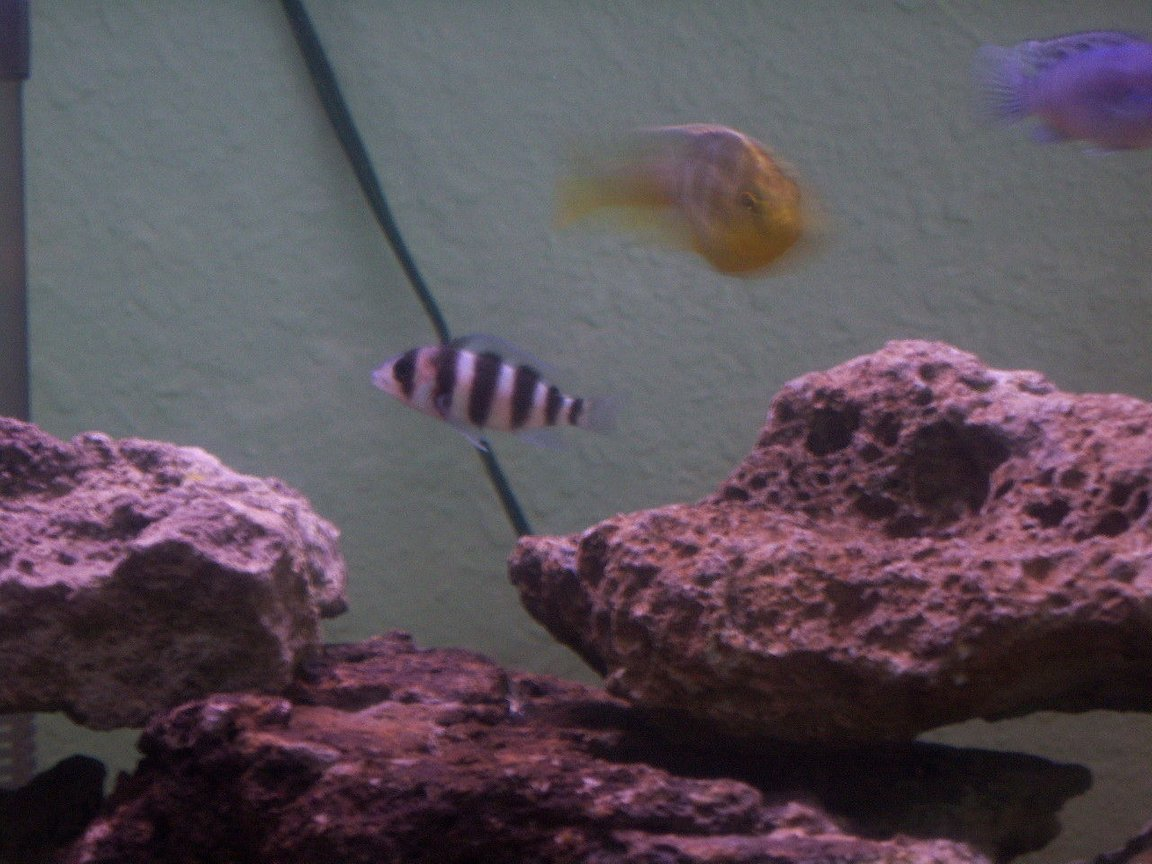 freshwater fish - cyphotilapia frontosa - frontosa cichlid stocking in 55 gallons tank - my favorite fish the frontosa cant wait tell he gets his lump