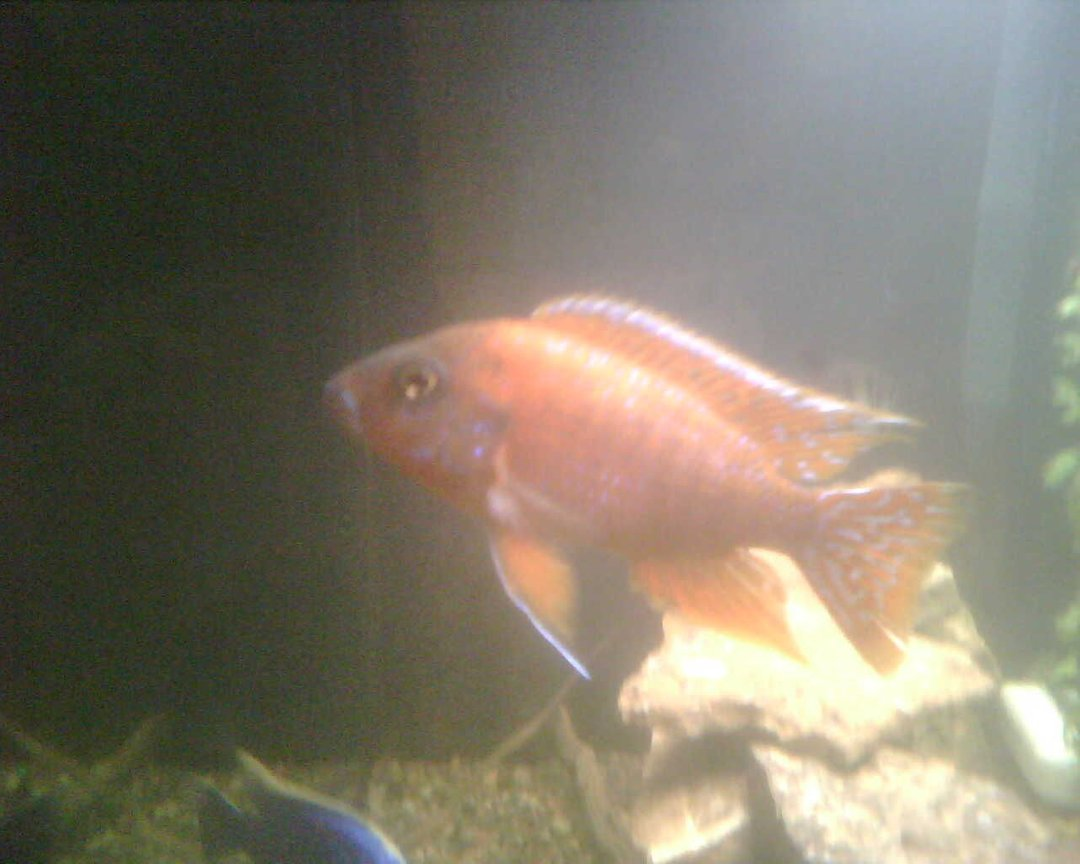 freshwater fish - aulonocara rubescens - ruby red peacock stocking in 65 gallons tank - Our ruby red peacock cichlid. Nice and orange, bot 4 inches or so, close to a year old.