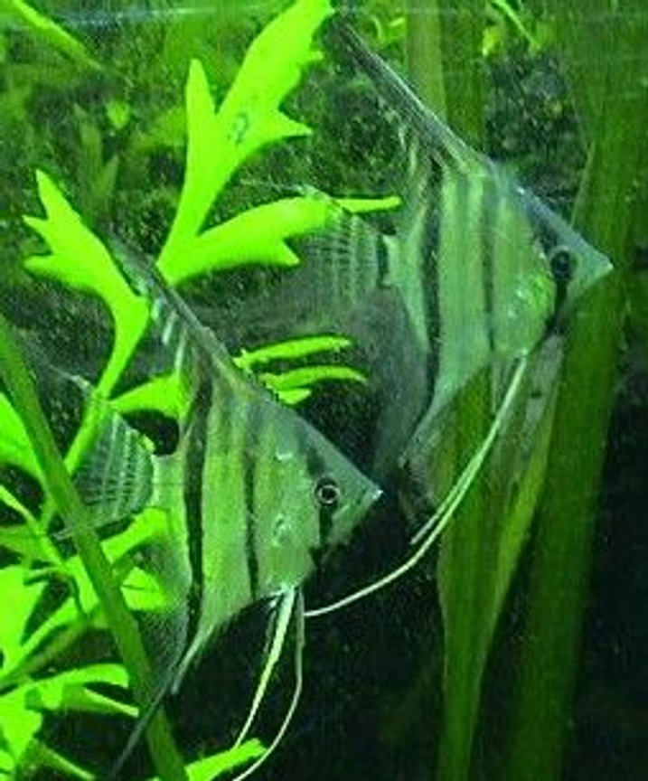 freshwater fish - pterophyllum scalare - peruvian angelfish stocking in 125 gallons tank - peruvian scalare angels