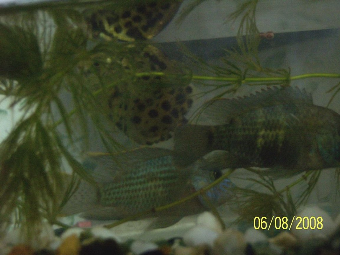 freshwater fish - aequidens rivulatus - green terror stocking in 5 gallons tank - my two green terrors with Scat