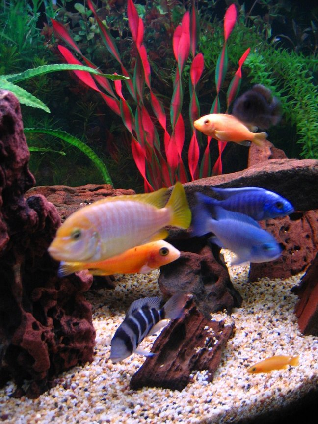 freshwater fish - maylandia hajomaylandi - hajomaylandi stocking in 75 gallons tank - Fish on parade. ( Left to right ) Hajomaylandi, Dragonblood Peacock, Frontosa, Cobalt Blue, Electric Blue with Red Zebra & Stuartgranti above & Leleupi underneath.