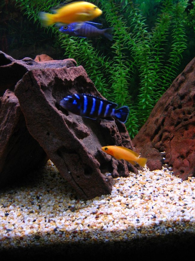 freshwater fish - pseudotropheus demasoni - demasoni cichlid stocking in 75 gallons tank - (Top to bottom) Electric Yellow, Electric Blue, Demasoni & Leleupi who passed on while I was away on holidays.