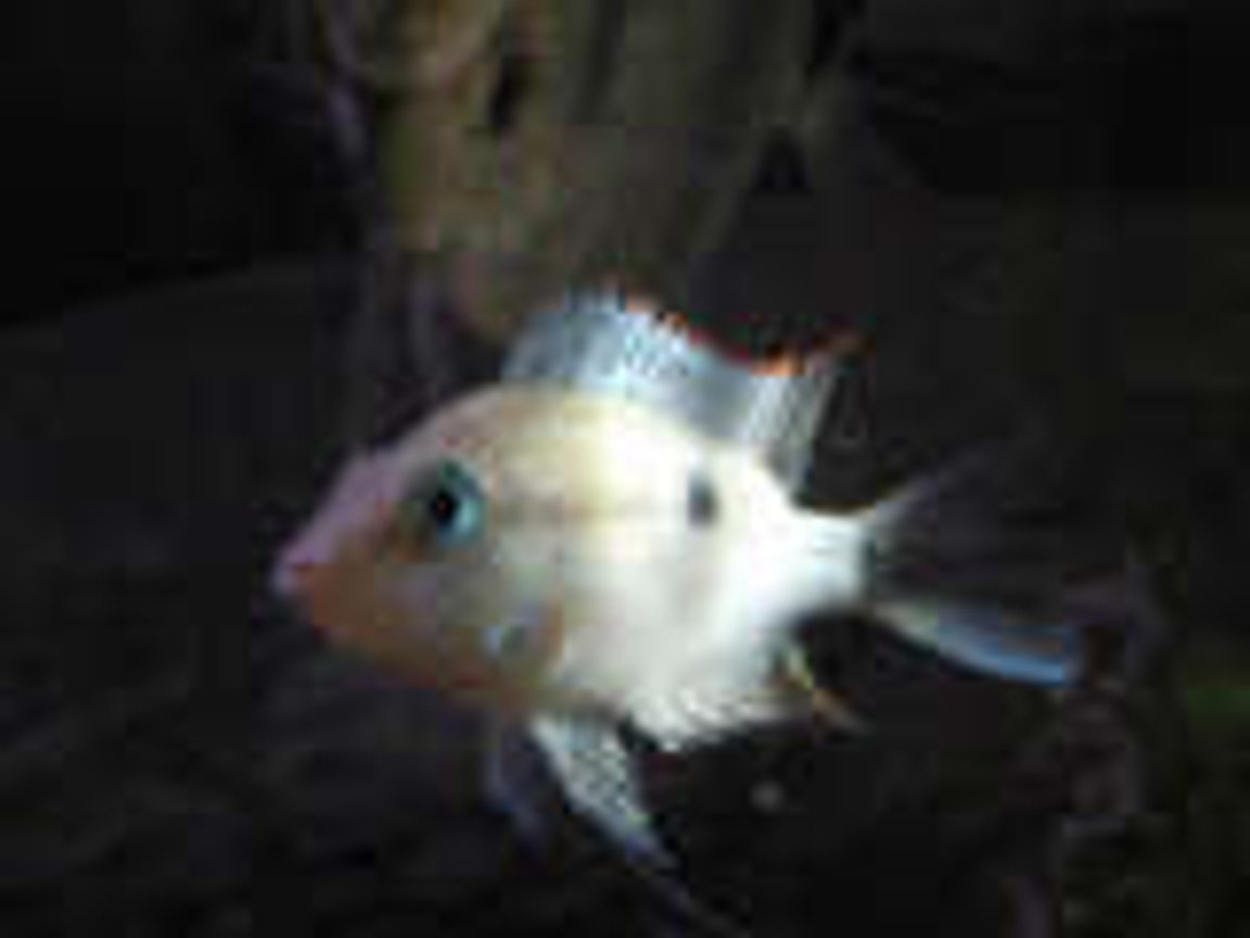 freshwater fish - thorichthys meeki - firemouth cichlid stocking in 20 gallons tank - My Firemouth