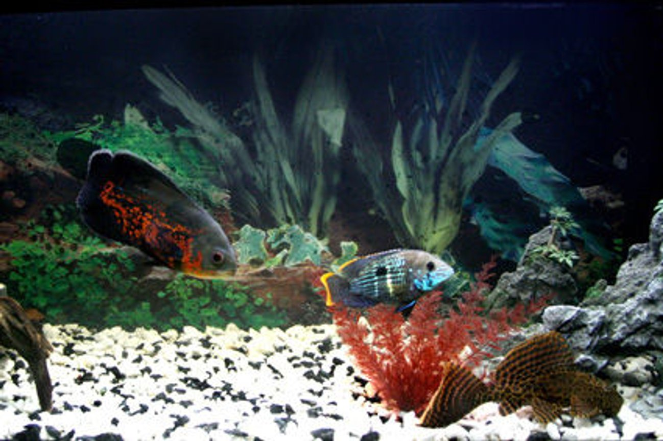 freshwater fish - astronotus ocellatus - tiger oscar stocking in 17 gallons tank - My first tank