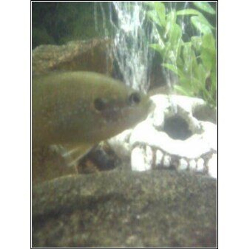 freshwater fish - lepomis cyanellus - green sunfish stocking in 28 gallons tank - another green sunfish picture