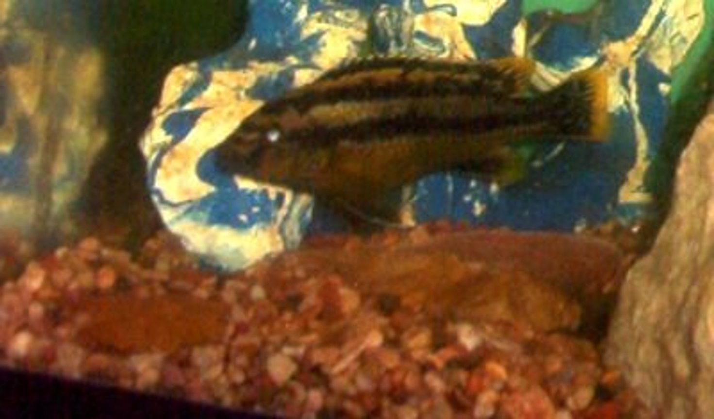 "freshwater fish - melanochromis auratus - auratus cichlid stocking in 75 gallons tank - african chiclid,""Strip"".He is mellow but loves chasing the catfish around when bored."