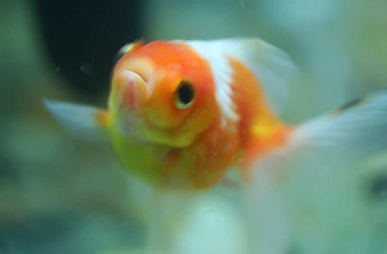 freshwater fish - carassius auratus - crown pearlscale goldfish stocking in 72 gallons tank - pearl scale