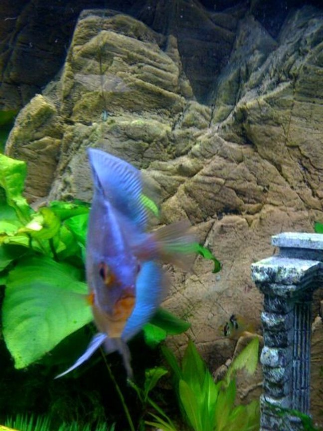 freshwater fish - symphysodon sp. - blue diamond discus stocking in 75 gallons tank - My Beautiful 4 inch + Blue diamond. Very healthy looking