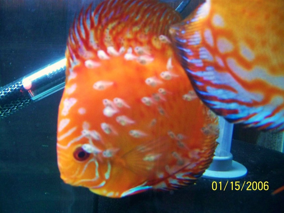freshwater fish - symphysodon sp. - royal red discus stocking in 66 gallons tank - discus with young