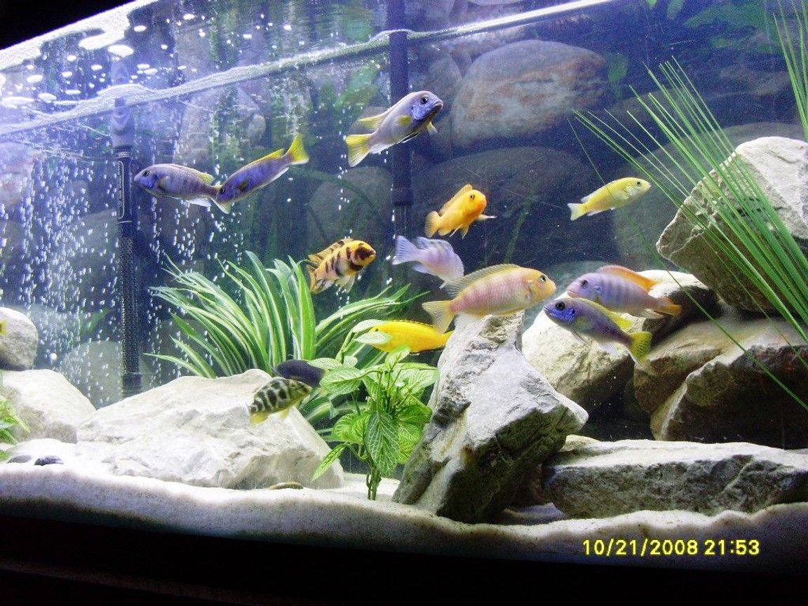 freshwater fish - pseudotropheus acei - acei cichlid stocking in 55 gallons tank - Colors!