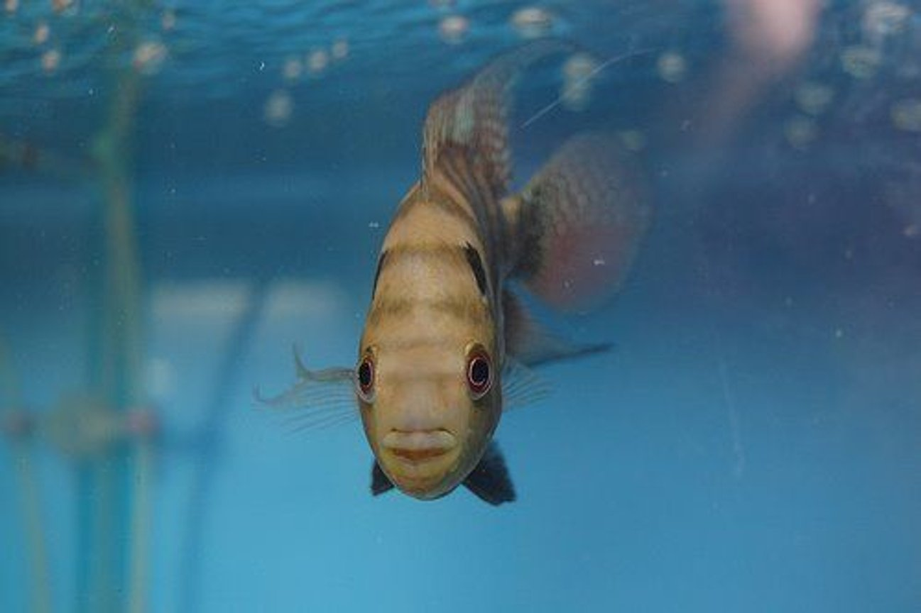 freshwater fish - cichlasoma sp. - flower horn cichlid stocking in 38 gallons tank - Flower Horn Pluse Spotted